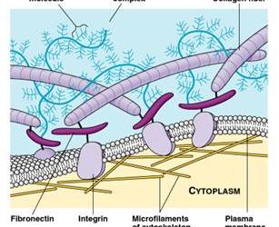 La matrice extracellulare: di cosa stiamo parlando?